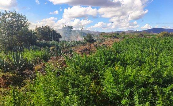 [Em 24h, polícia encontra duas plantações com mais de 200 mil pés de maconha na Bahia]