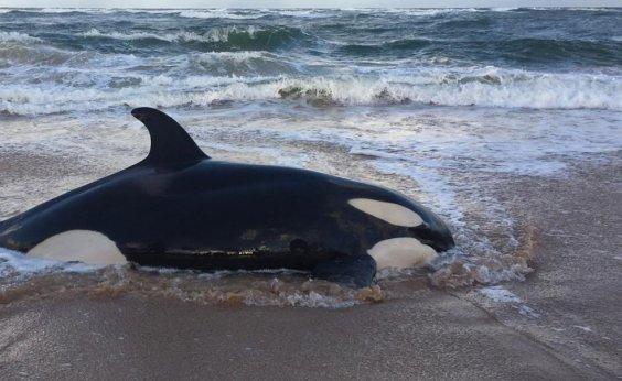 [Baleia orca que encalhou em Guarajuba é sacrificada]