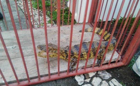 [Jacaré de espécie em risco de extinção é encontrado em área de clube em Ipiaú]