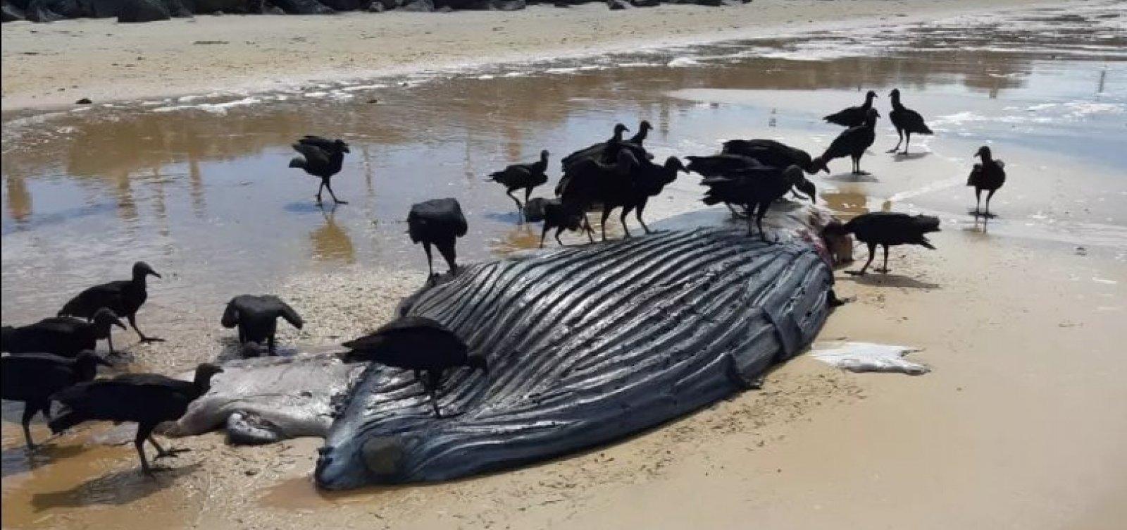 [Filhote de baleia jubarte é encontrado morto em Porto Seguro]